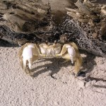 Atlantic crab